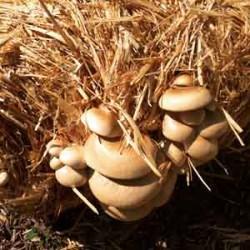 Spent Mushroom Substrate